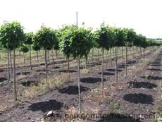 Живые изгороди из вечнозеленых и листопадных кустарников и деревьев.